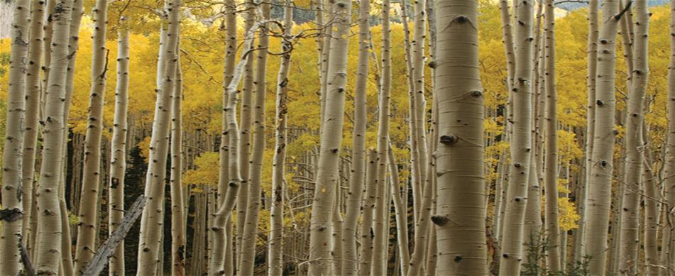 Photo of Aspens